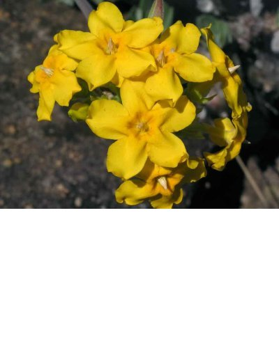 Pachypodium densiflorum 2